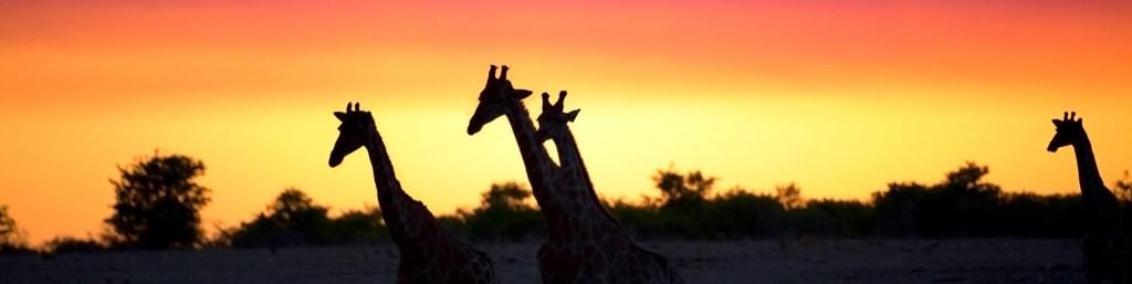 giraffes12