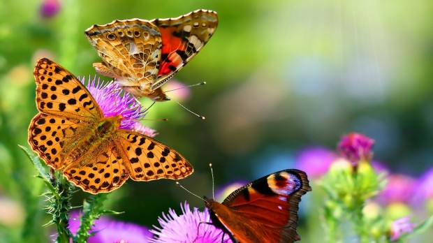 nature-butterfly-animals-HD-Wallpapers
